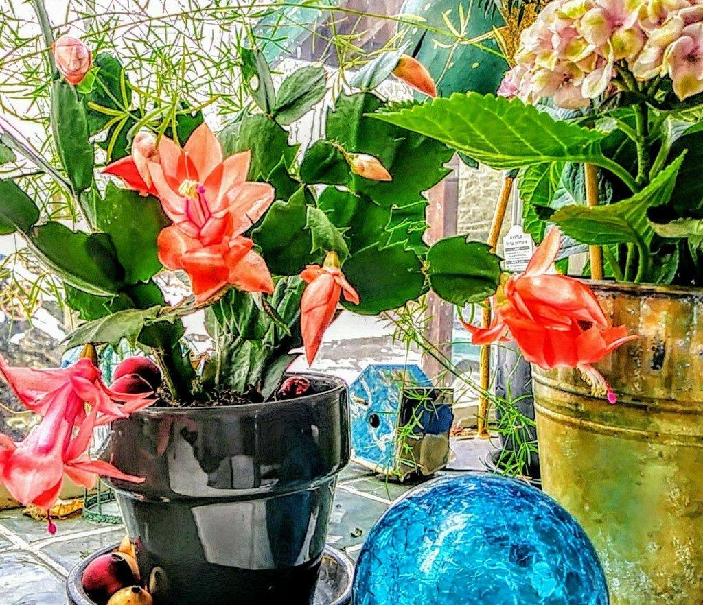 Christmas cactis in window